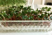 Radisespirer - Mikrogrønt